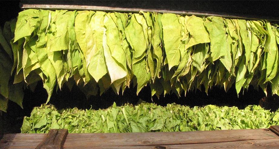 feuilles de tabac en train de sécher
